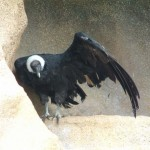 Vulture, Colchester Zoo, 2004