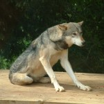 Wolf, Colchester Zoo, 2004