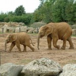 Elephants, Colchester Zoo, 2004