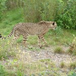 Cheetah, Colchester Zoo, 2004