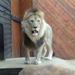 Lion, Colchester Zoo, 2004