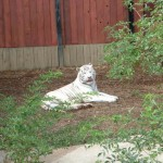 White tiger, Colchester Zoo, 2004